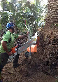 Root pruning a palm to allow the client to reinstate their block wall
